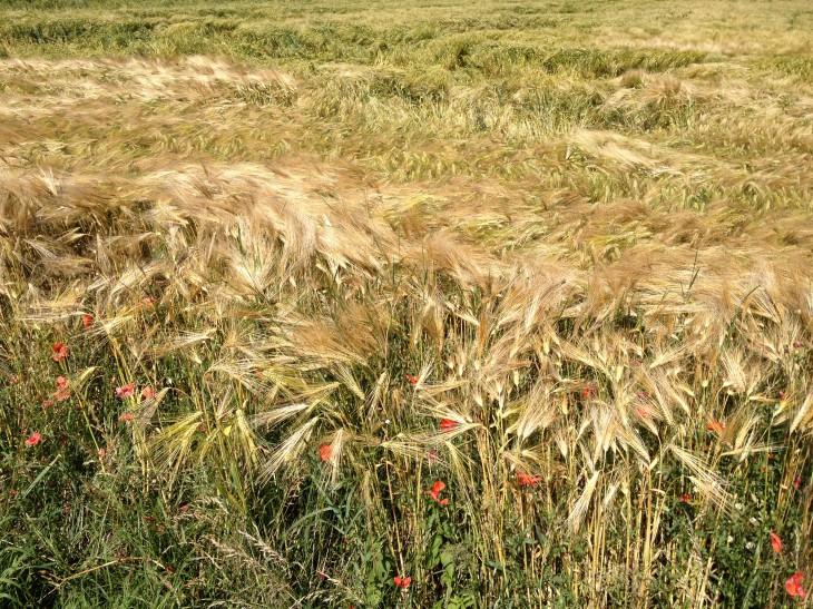 Unter den Getreiden nie das Erste: Gerste