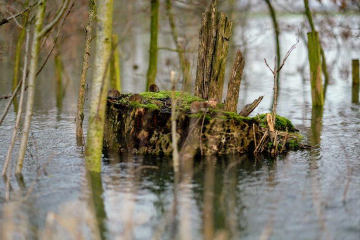 Dem Wasser beim Steigen zusehen: Mäusekolonie auf einem Baumstumpf
