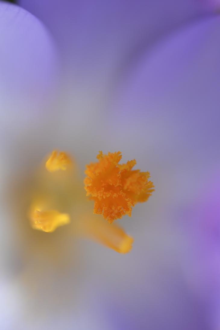 Da denkt man, ah, ein Krokusfoto, wird wohl wieder der übliche Frühlingskrokulores sein, und dann: NIMM DAS! (Foto: Klaus Oberschilp)