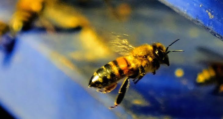 Im Landeanflug: Biene (Apis mellifera)
