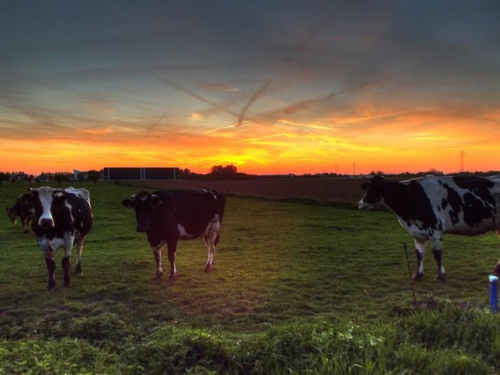 Cow-Kasus: Akkusativ (Foto © Christian Flock)