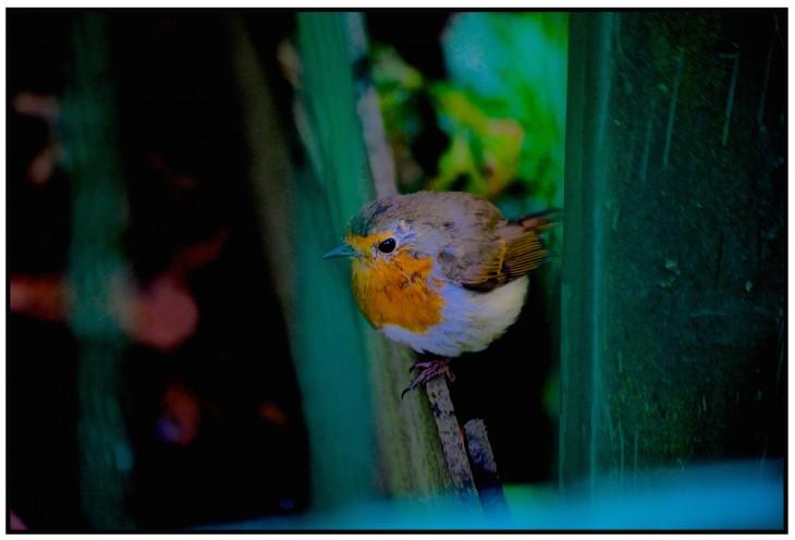 Der holländische Nationalvogel? (Foto: © Joachim Schäfer)