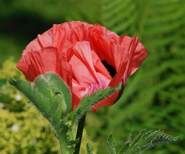 Leicht verspätet, ein Blumenfoto, welches uns an die Zerbrechlichkeit all der schönen Dinge um uns gemahnt (Foto © -jübu-)