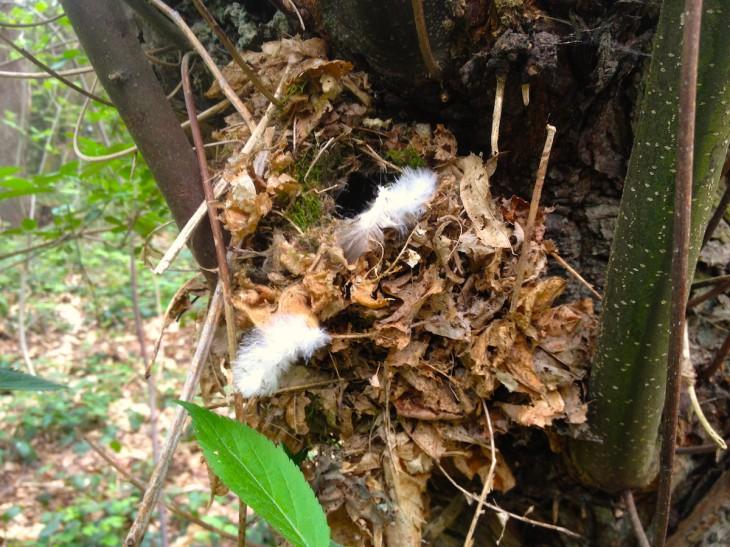 Einfach nur misslungen: Versuch eines Kuckucksnestes im Tiergartenwald