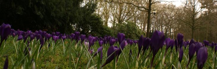 Das Wortspiel ist grenzwertig, aber was soll's – Forstgarten, Februar 2014, ein violettes Blütenmeer